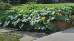 winter squash in bales July 10.jpg